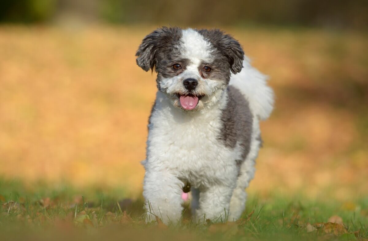 Hund Hundeshooting Outdoor Havaneser Herbst